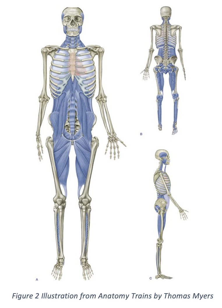 Illustration from Anatomy Trains by Thomas Myers